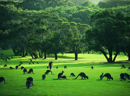 Kangaroos on Anglesea Golf Course