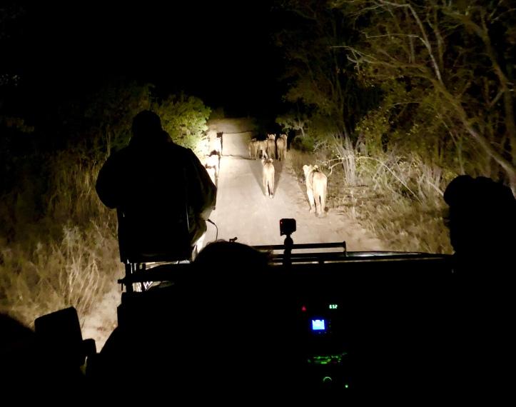 Sabi Sabi lions