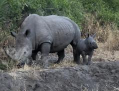 Sabi Sabi rhinos