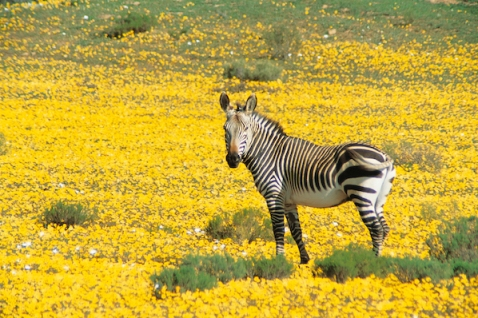 Bushmans Kloof Wildlife Zebra, South Africa